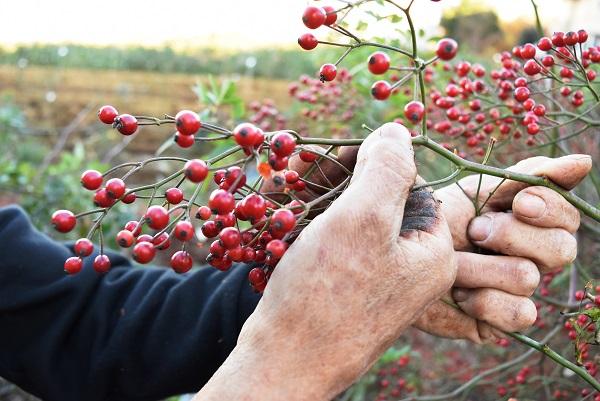 ノイバラの実を収穫しました。     篠宮バラ園