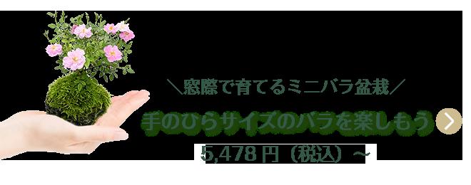 窓際で育てるミニバラ栽培 手のひらサイズのバラを楽しもう 5,478円(税込)〜